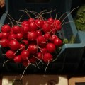 Eerste groenten van het seizoen geoogst