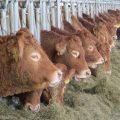 Boerderijwinkel – Vers Limousin scharrelvlees 23 en 24 december
